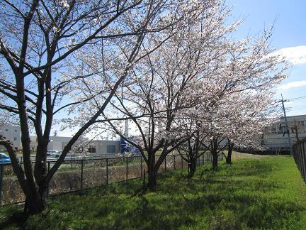 石田寺裏の桜2