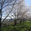 Photos: 石田寺裏の桜2