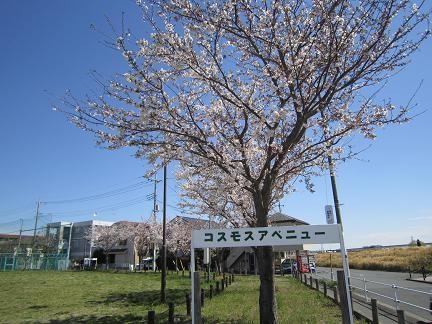 コスモスアベニューの桜