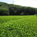 Photos: お茶畑