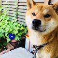 写真: 朝顔と柴犬