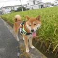 Photos: 実りの秋間近!?