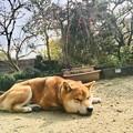 Photos: しだれ梅と柴犬2