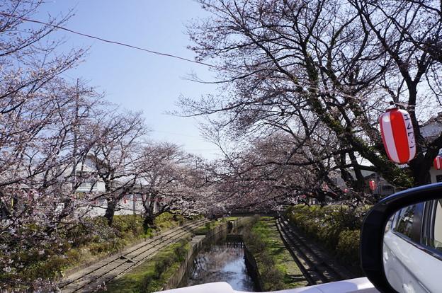 桜 メイン通り