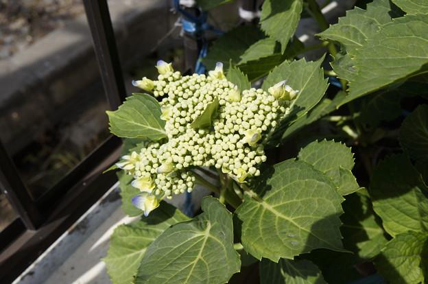 ガクアジサイの開花