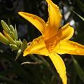 ニッコウキスゲ 開花
