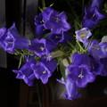 ツリガネソウ  紫