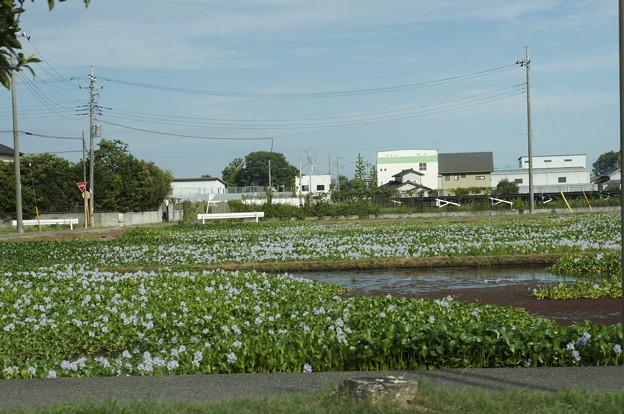 写真: ホテイアオイ 群生地