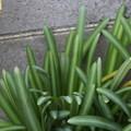 シロバナマンジュシャゲの葉