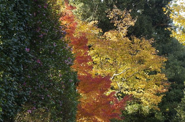 サザンカ 紅葉の赤と黄