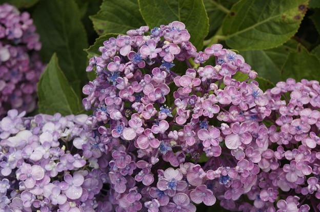 紫陽花 アップで