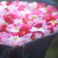 Photos: 花零れる