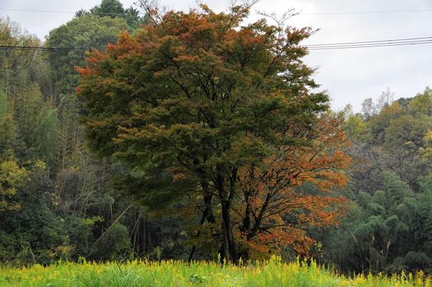 写真00107  岩船寺から浄瑠璃寺への途次見た紅葉とブタクサ
