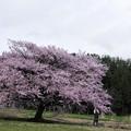 Photos: 写真00116 JR田沢湖線・秋渕駅付近で見た大山桜