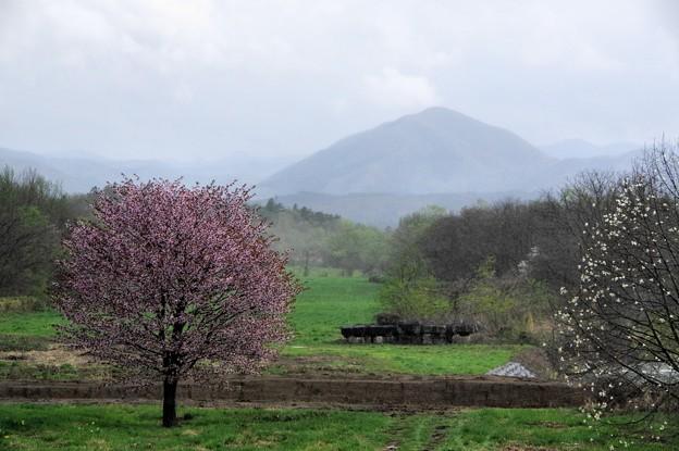 Photos: 写真00129 葛根田川の河川敷に咲いている桜