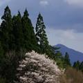 Photos: 写真00293 まきば園の桜