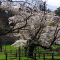 Photos: 写真00269 乳牛放牧場の桜
