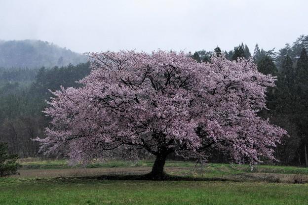 写真00777  JR田沢湖線・秋渕駅付近で見た大山桜
