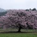 Photos: 写真00777  JR田沢湖線・秋渕駅付近で見た大山桜