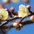 白梅の花(1)