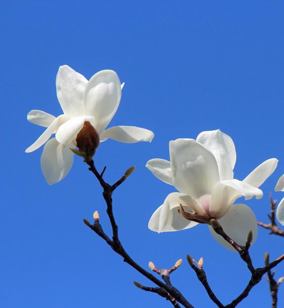 白木蓮の花(2) 青空に