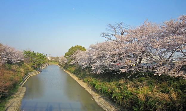 長池の桜  遠景