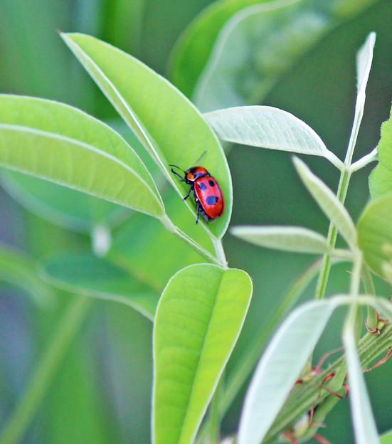 写真: クロボシツツハムシ  萩の新芽に