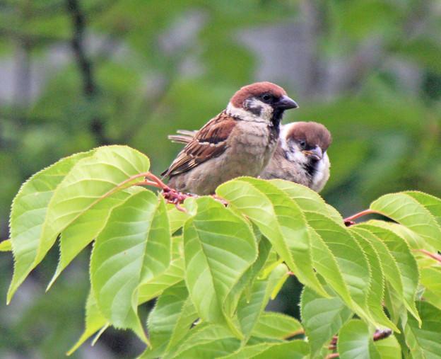 写真: スズメの親子  新緑の桜の枝で