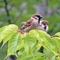 スズメの親子  新緑の桜の枝で