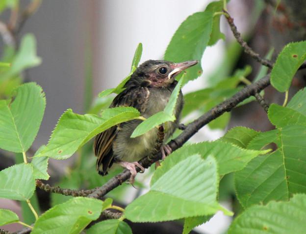 ヒヨドリのひなちゃん(1) じっと桜の枝で待つしっかりさん