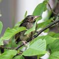 写真: ヒヨドリのひなちゃん(1) じっと桜の枝で待つしっかりさん