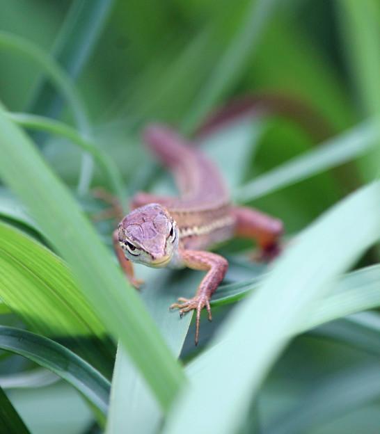 カナヘビさん  まるでジャングルの恐竜みたい