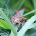 写真: カナヘビさん  まるでジャングルの恐竜みたい