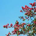 クロガネモチの赤い実  青空高く