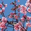 写真: 河津桜の花(1) 咲きました\(^o^)/