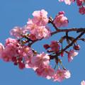 写真: 河津桜の花(2)一枝