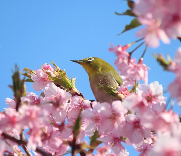 写真: 桜メジロさん