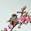 写真: 桜スズメさん ♪