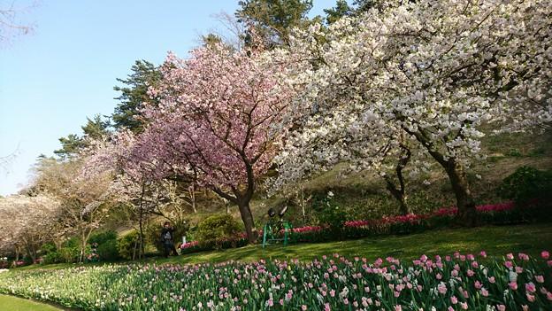 フラワーパークの桜(1)