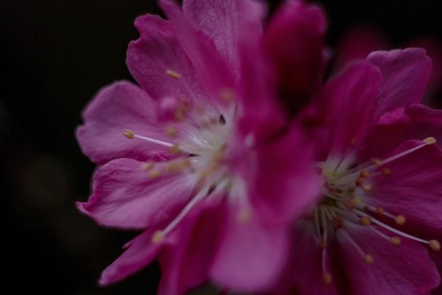 旬/桃色のモモの花