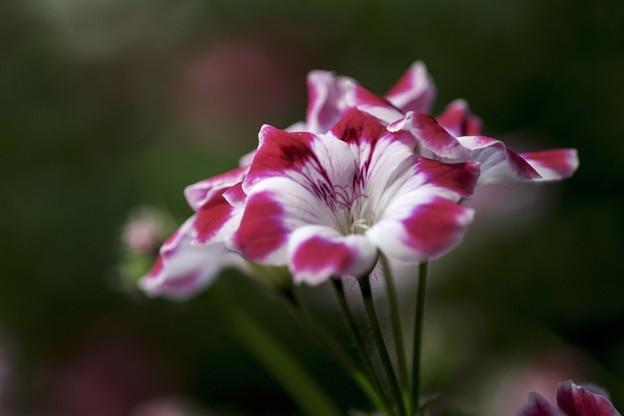 ピンキーな花たち e
