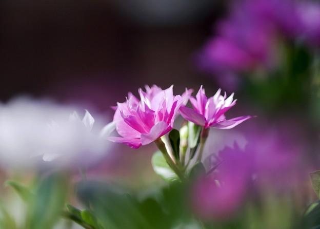 shine-pink