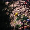 写真: 陽溜まりのフクジュソウ
