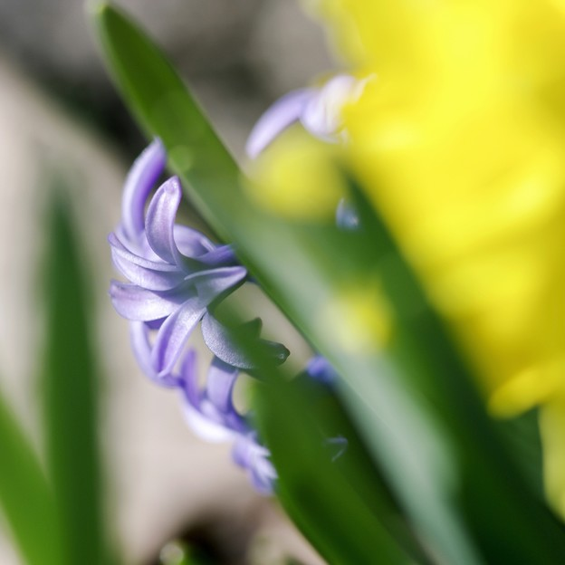 square-cut WHITE&BLUE&YELLOW