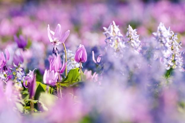 写真: カタクリの花たち d