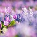カタクリの花たち d
