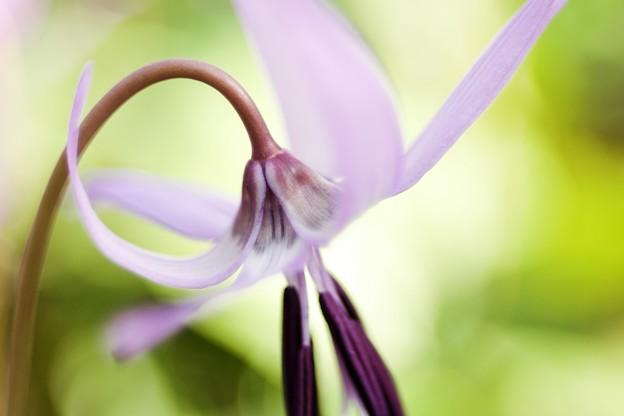 カタクリの花たち a