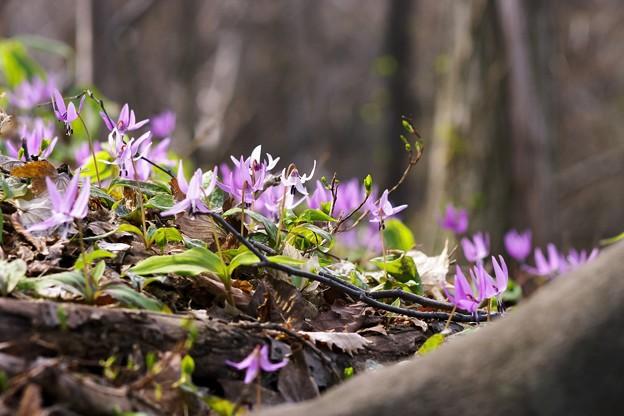 写真: カタクリの里から/白花と