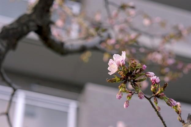 写真: サッポロ花便り/MSの梅 ほころぶ