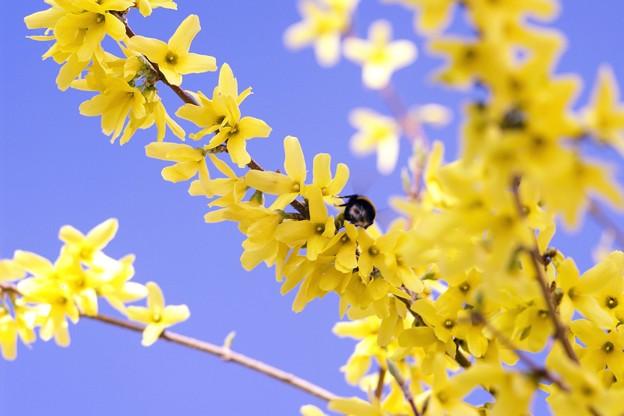 サッポロ花便り/春空とレンギョウと・・・